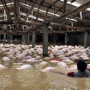 Việt Nam: Lũ lụt kinh hoàng, chết đứng nhìn 4.000 con lợn bị chết đuối