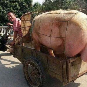 Việt Nam: Thủ tướng chỉ đạo tăng cường thu mua, cấp đông thịt lợn