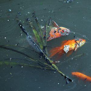 Cá chép chết nổi lềnh bềnh ít phút khi vừa được phóng sinh ở sông Tô Lịch