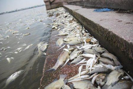 Cá chết hàng loạt ở Hồ Tây: Xác định nguyên nhân ban đầu