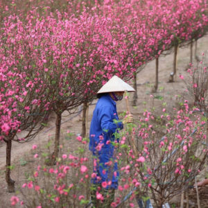 Vietnam: Opinion about Prime Minister's forbidding use of mountainous peach trees for New Year's decoration